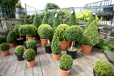 Green Year Around Shrubs Bushes Buy Local Topiaries