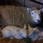 Greedy & 2 Lambs