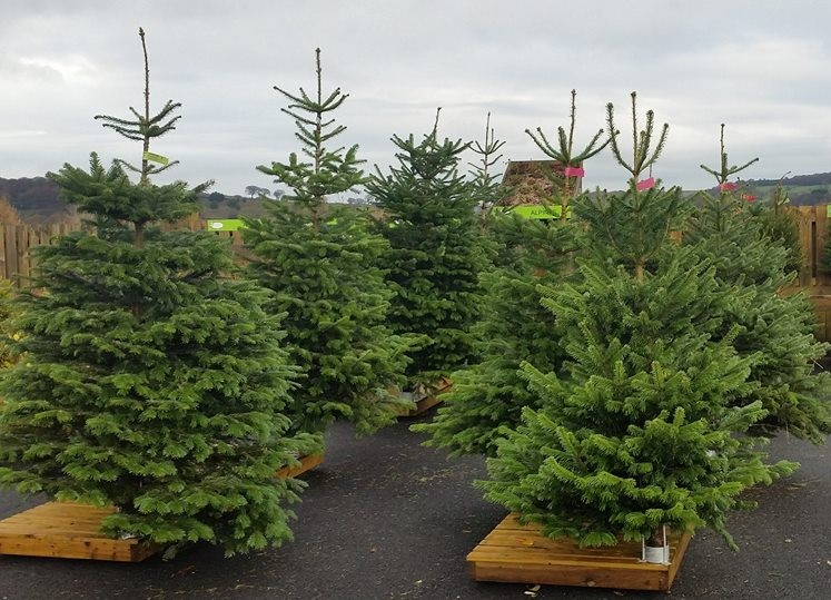 Spruce and Nordmann Christmas trees at Totties